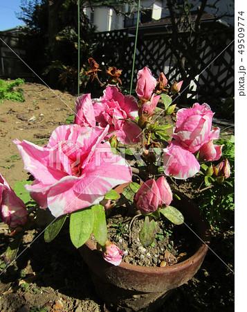 ツツジの改良種アザレアの桃色の花 49509774