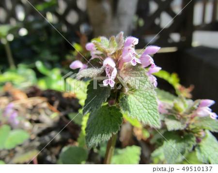 花が踊り子に見えるというヒメオドリコソウの花 49510137