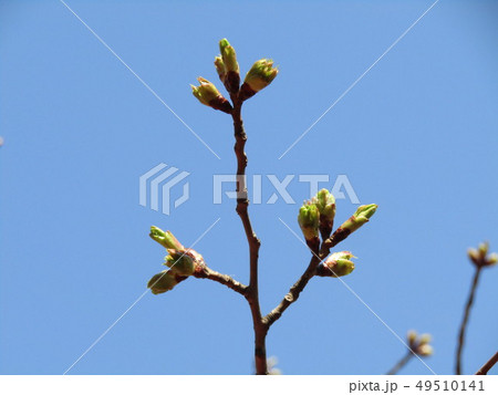 ソメイヨシノよりほんの少し遅く咲き始めるオオシマザクラの蕾 49510141