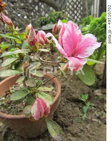 ツツジの改良種アザレアの桃色の花 49510702