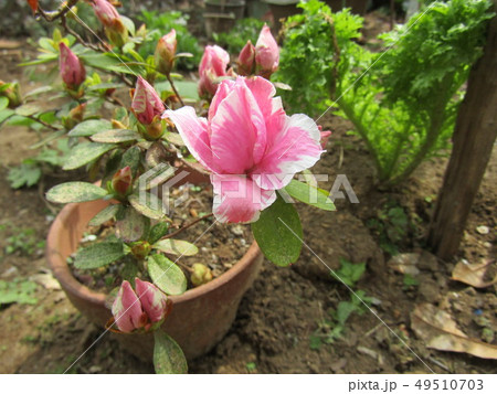 ツツジの改良種アザレアの桃色の花 49510703