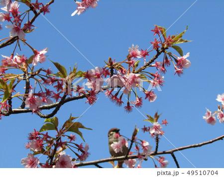 葉桜になった稲毛海岸駅前カワヅザクラの花  49510704