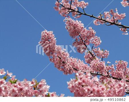 満開の稲毛海岸駅前カワヅザクラの花  49510862