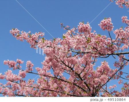 満開の稲毛海岸駅前カワヅザクラの花  49510864