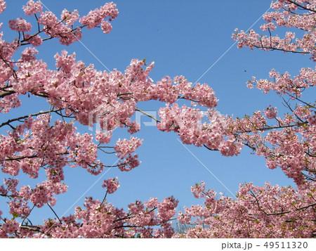 満開の稲毛海岸駅前カワヅザクラの花  49511320