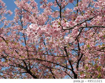 満開の稲毛海岸駅前カワヅザクラの花  49511321