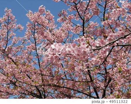 満開の稲毛海岸駅前カワヅザクラの花  49511322