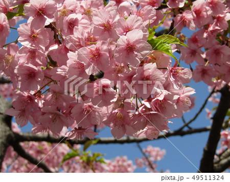満開の稲毛海岸駅前カワヅザクラの花  49511324