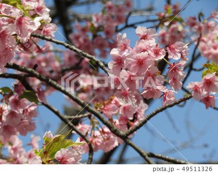 満開の稲毛海岸駅前カワヅザクラの花  49511326