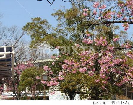 満開の稲毛海岸駅前カワヅザクラの花  49511327