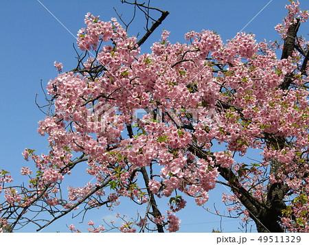 葉桜になった稲毛海岸駅前カワヅザクラの花  49511329