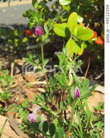 紫色の花カラスノエンドウ 49512398
