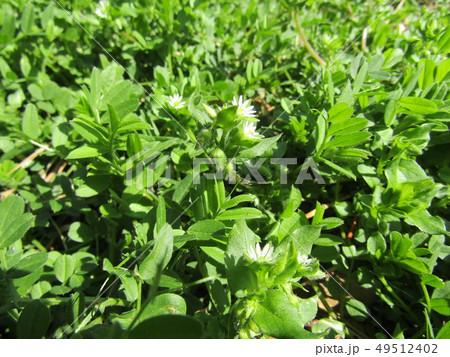 可愛い小さいハコベの白い花 49512402