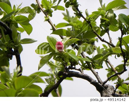 果実を焼酎につけカリン酒を作るカリンの花 49514142