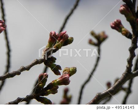 白い花の大島桜の蕾 49514145