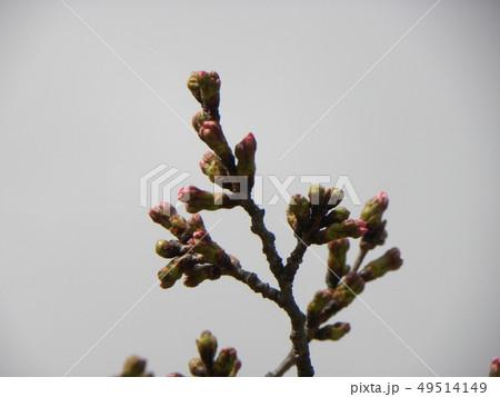 白い花の大島桜の蕾 49514149
