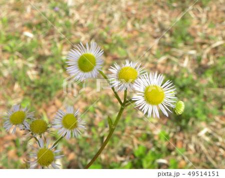 風車が回っているようなハルジオンの花 49514151