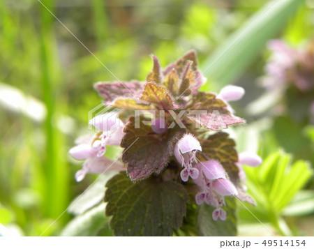 花が踊り子に見えるというヒメオドリコソウの花 49514154