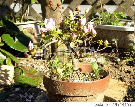 咲き始めたツツジの改良種アザレアの桃色の花 49514155