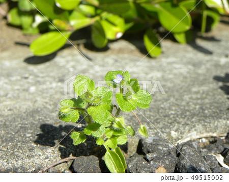 小さい小さい野の花フラサバソウ 49515002