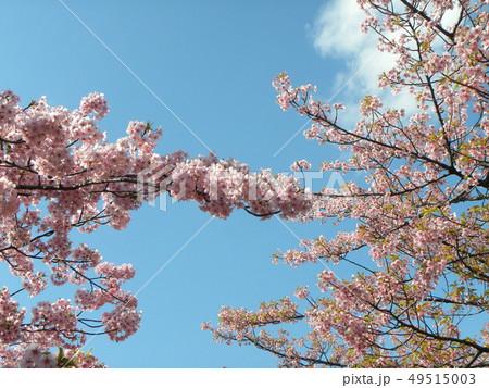 葉桜になった稲毛海岸駅前カワヅザクの花 49515003