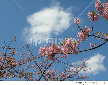 葉桜になった稲毛海岸駅前カワヅザクの花 49515004