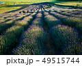 ラベンダー畑 ラベンダー フラワーの写真 49515744