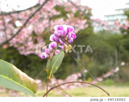 小さい欄の様に綺麗な青い花はルーデンベルギアの花  49516062