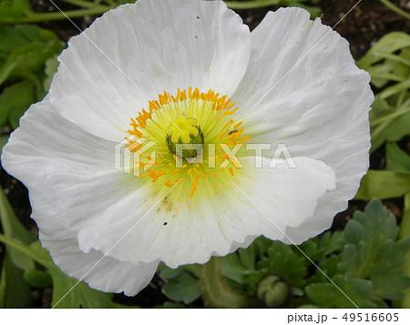 大きいポピーの白い花 49516605