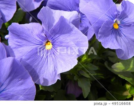 パンジーの青色の花 49516608