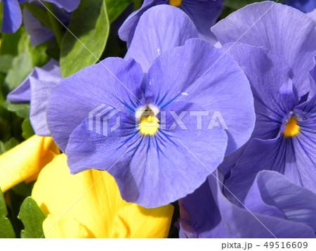 パンジーの青色の花 49516609