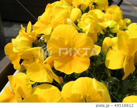 パンジーの黄色い花 49516612