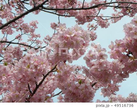 満開の稲毛海岸駅前カワヅザクの花 49516736