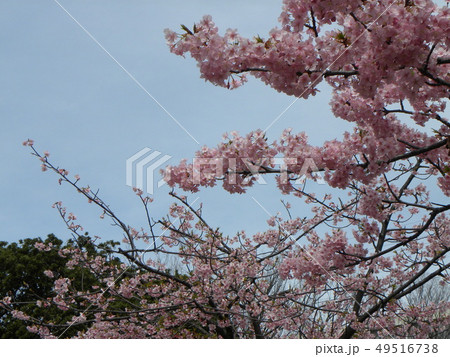 満開の稲毛海岸駅前カワヅザクの花 49516738