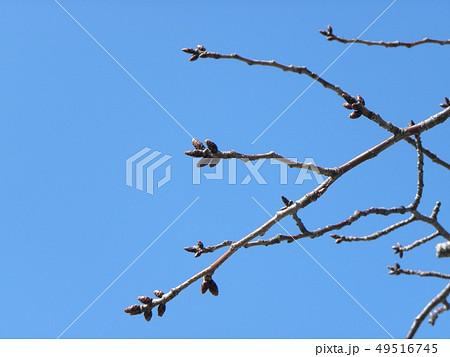 白い花の大島桜の蕾 49516745