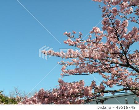 満開の稲毛海岸駅前カワヅザクの花 49516748
