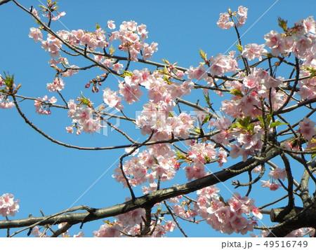 満開の稲毛海岸駅前カワヅザクの花 49516749
