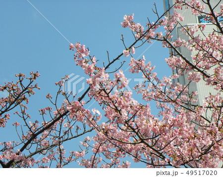 満開の稲毛海岸駅前カワヅザクの花 49517020