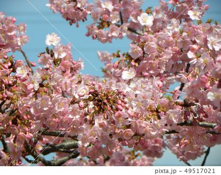 満開の稲毛海岸駅前カワヅザクの花 49517021