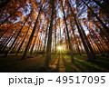 メタセコイアの森 49517095