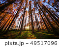 メタセコイアの森 49517096