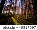 メタセコイアの森 49517097