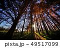 メタセコイアの森 49517099