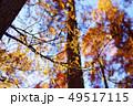 メタセコイアの黄葉 49517115