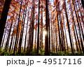 メタセコイアの森 49517116