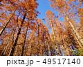メタセコイアの森 49517140