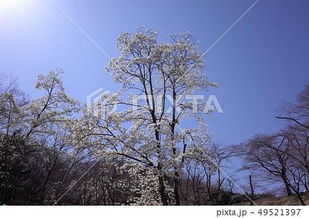 青空に咲く美しい白い木蓮の花、太陽の光がまぶしい 49521397