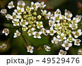 ナズナ ペンペン草 春の七草の写真 49529476