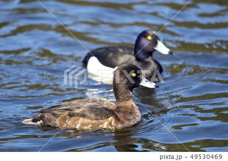 tufted duck (Aythya fuligula) in the lake 49530469