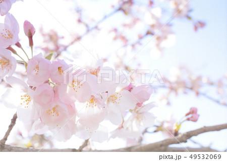 ソメイヨシノ 49532069